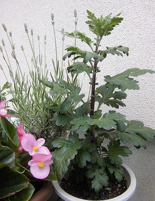 6月の二度咲きキク