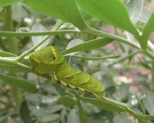 チョウの幼虫