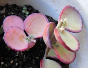 挿し芽したミセバヤの新芽