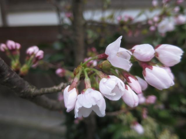 桜 三分咲き