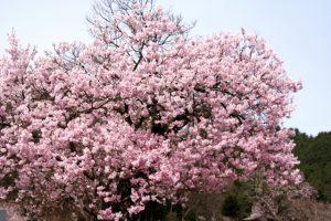満開の桜の木