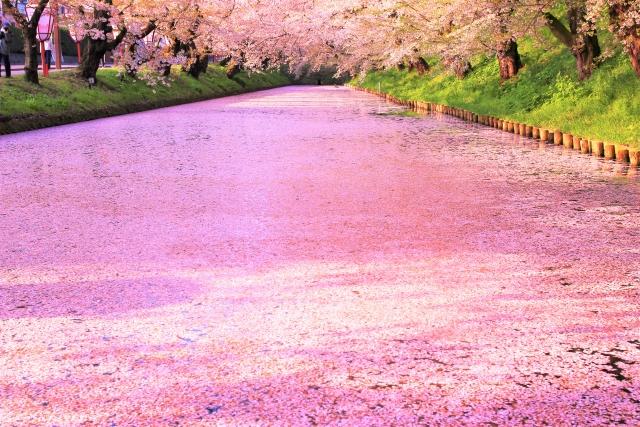 弘前公園の外濠の花筏