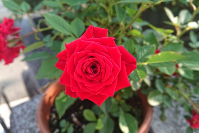 ミニバラの赤い花