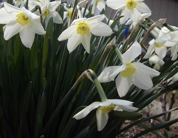 日本スイセンの花