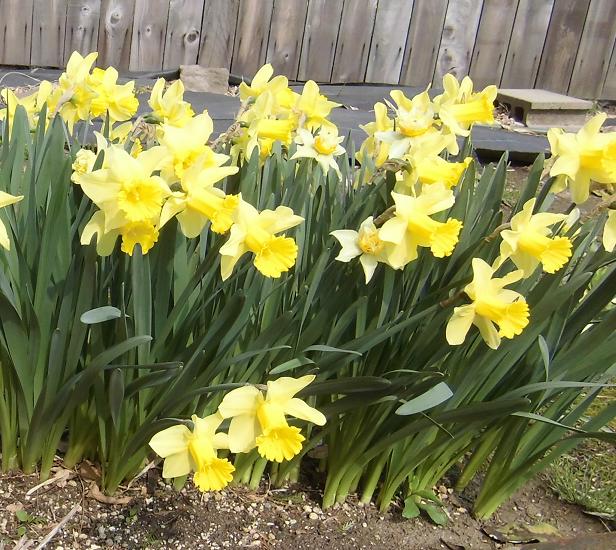黄色いスイセンの花