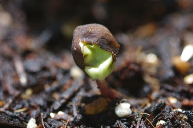 アサガオの発芽