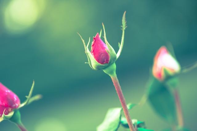 バラのツボミ