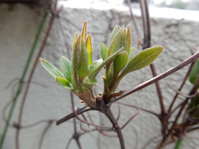 クレマチスの芽吹き