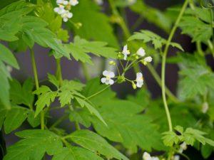 フウセンカズラの花