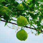 フウセンカズラの緑色の実