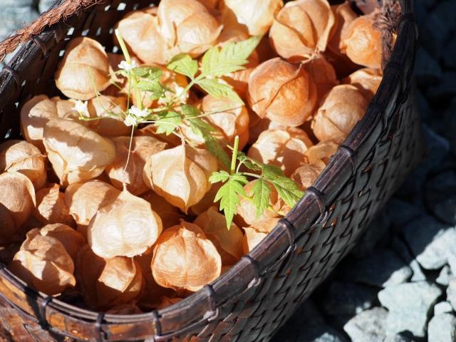 フウセンカズラの茶色の実