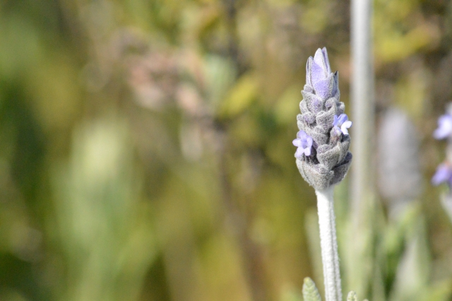 レースラベンダーの花