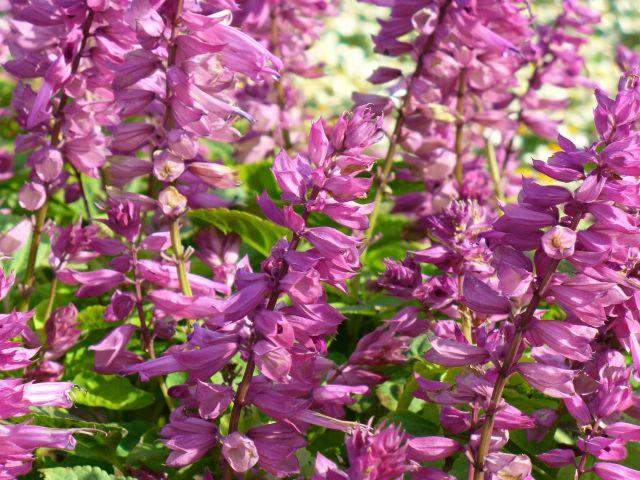 紫のサルビア スプレンデンス
