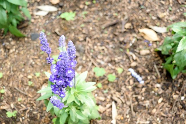 サルビア・ファリナセア 紫の花