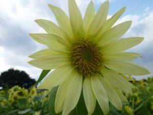白いヒマワリの花