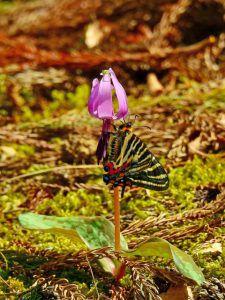 カタクリの花とギフチョウ