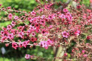 ギョリュウバイのピンクの花