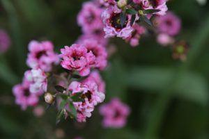 ギョリュウバイの花