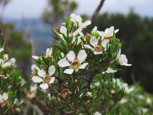 ギョリュウバイの白い花