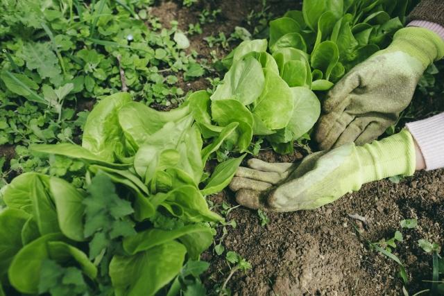 家庭菜園の雑草