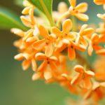 キンモクセイの花