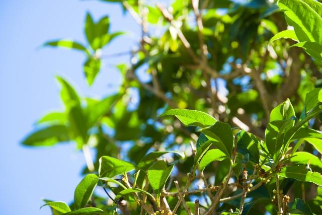 キンモクセイの葉
