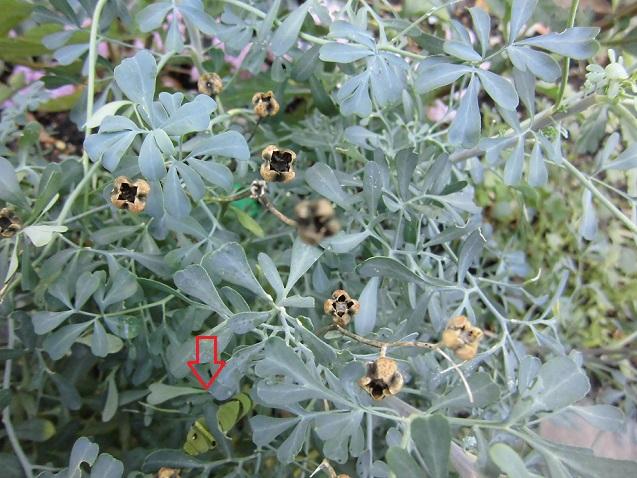ルーの種とアゲハの幼虫