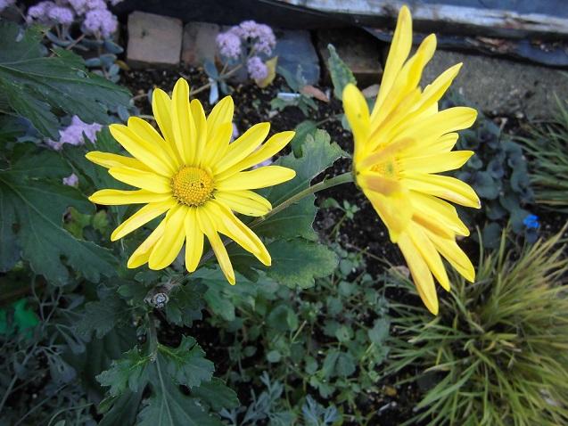 スプレー菊の花