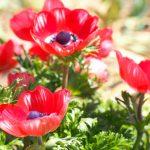 赤いアネモネの花