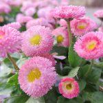 デージーのピンクの花