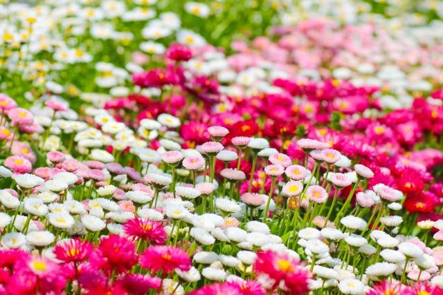 デージーの花畑
