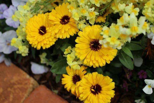 花壇のキンセンカ