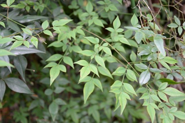 ナンテンの葉