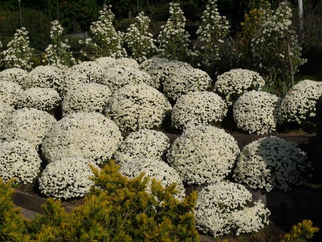 ざる菊の白い花