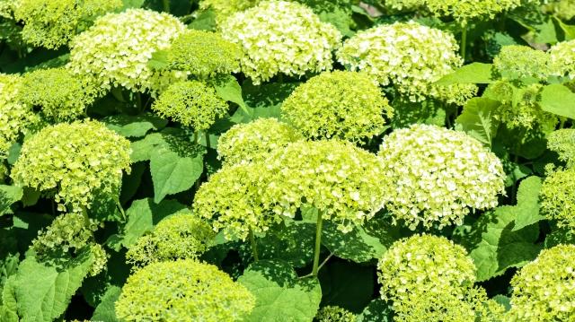 アナベルの花