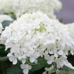 アジサイ アナベルの白い花