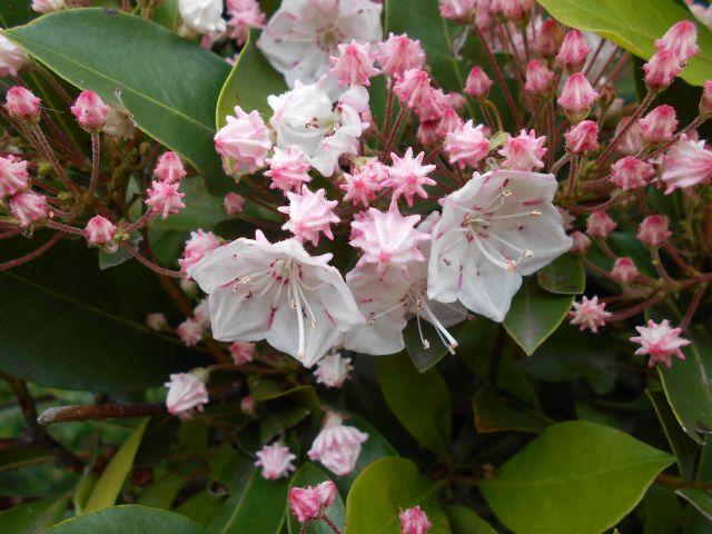 カルミアのツボミと花