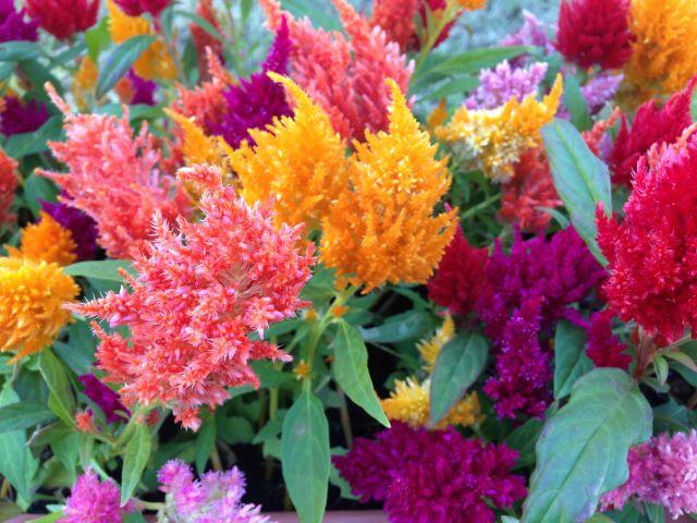 カラフルなケイトウの花