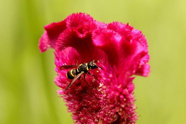 ケイトウとハチ