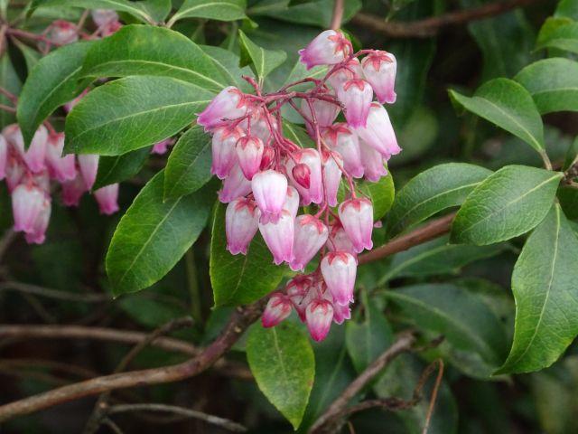 ピンクのアセビの花