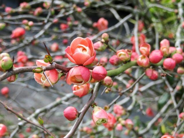 ボケの枝と花