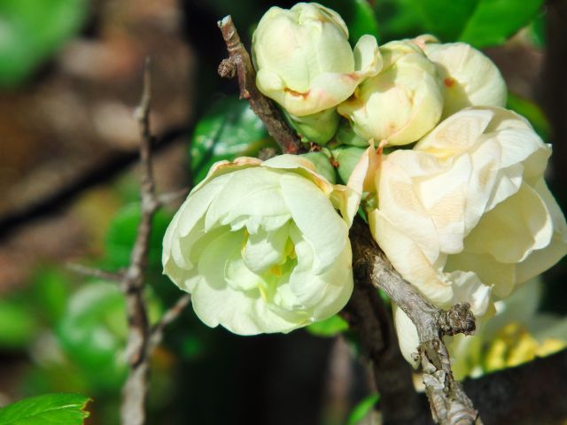 ボケの白い花