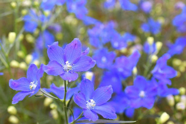 デルフィニウムの青い花