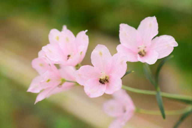 デルフィニウムのピンクの花