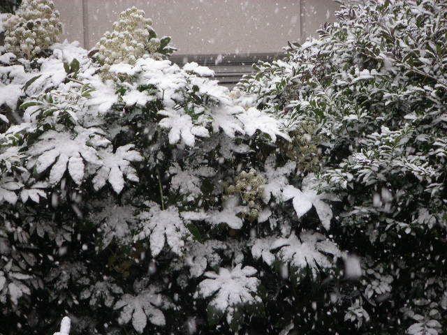 雪が積もったヤツデ