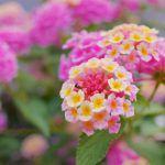 ランタナ(七変化)の花