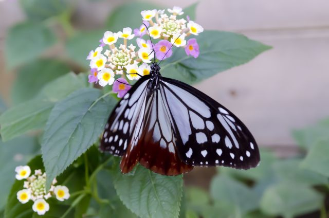 ランタナの花と蝶