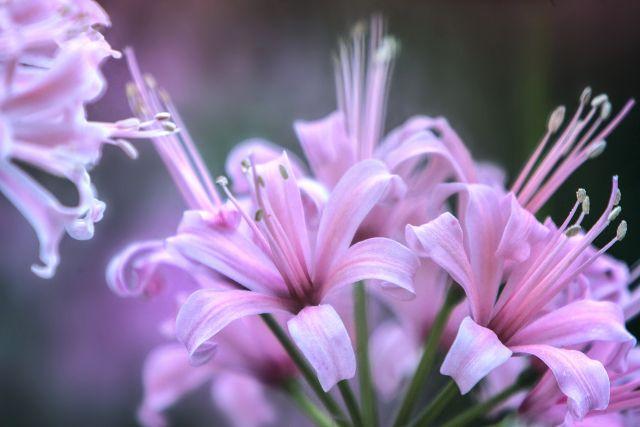 ネリネ(ダイヤモンドリリー)の花