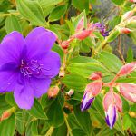 シコンノボタン(紫紺野牡丹)の花