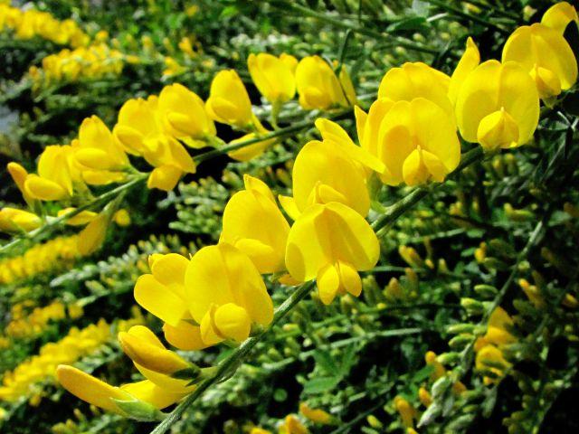 エニシダの黄色い花